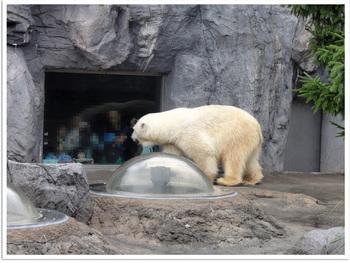 旭山動物園しろクマ.jpg