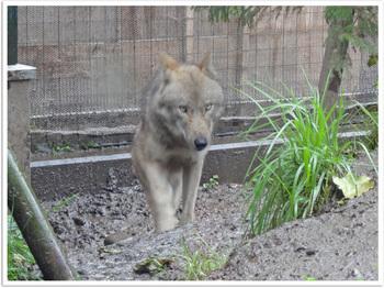 旭山動物園オオカミ.jpg