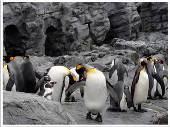 旭山動物園ペンギン集団.jpg